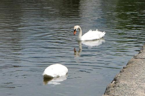 お濠の白鳥たち